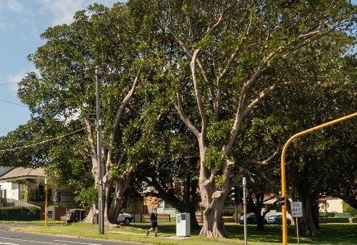 Proposed tree removal in Warrnambool